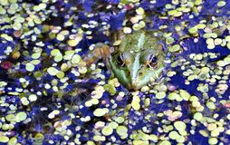 Grenouille verte dans le lac, photographe de observation Photos stock