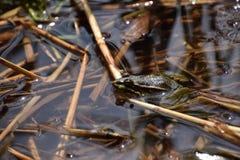 Grenouille verte dans les roseaux Στοκ Φωτογραφία