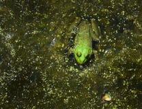 Grenouille verte dans un étang Photos stock