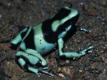 Grenouille verte de Poison-flèche Images libres de droits