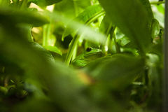 Grenouille verte entre les feuilles Photos libres de droits