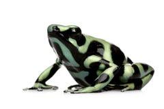 Grenouille verte et noire de dard de poison - aur de Dendrobates Images stock