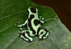 Grenouille verte et noire de dard de poison, Costa Rica Images stock