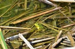 Grenouille verte, mâle, avec la gorge jaune pendant la saison d'élevage Photo libre de droits