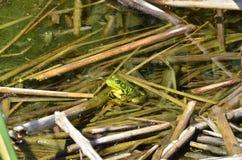 Grenouille verte, mâle, avec la gorge jaune pendant la saison d'élevage Image libre de droits