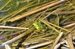 Grenouille verte, mâle, avec la gorge jaune pendant la saison d'élevage Photo stock