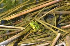 Grenouille verte, mâle, avec la gorge jaune pendant la saison d'élevage Image stock