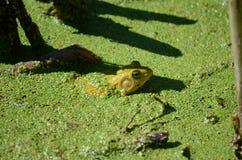 Grenouille verte, mâle, avec la gorge jaune pendant la saison d'élevage Photos stock