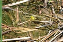 Grenouille verte, mâle, avec la gorge jaune pendant la saison d'élevage Images libres de droits