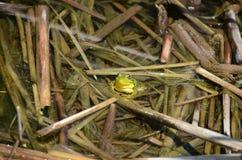 Grenouille verte, mâle, avec la gorge jaune pendant la saison d'élevage Photographie stock