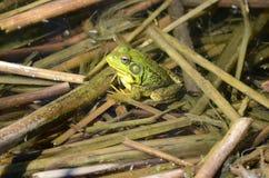 Grenouille verte, mâle, avec la gorge jaune pendant la saison d'élevage Images stock