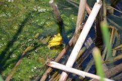 Grenouille verte, mâle, avec la gorge jaune pendant la saison d'élevage Photos libres de droits