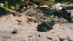 Grenouille verte se reposant sur une berge dans l'eau Mouvement lent banque de vidéos