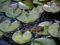 Grenouille verte se reposant sur une feuille de lotus image libre de droits