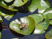 Grenouille verte se reposant sur une feuille de lotus photo libre de droits