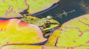 Grenouille verte sur la surface de l'eau photo stock
