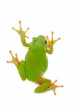 Grenouille verte sur le fond blanc Photo stock