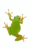 Grenouille verte sur le fond blanc photo stock