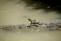 Grenouille verte sur un logarithme naturel Photos libres de droits