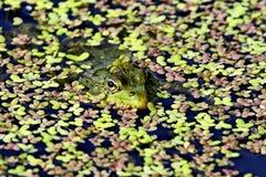 Grenouille verte sur un marais amphibies Les grenouilles peuvent produire un large éventail de signaux sonores, particulièrement  photographie stock