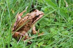 Grenouille verte sur un marais amphibies Les grenouilles peuvent produire un large éventail de signaux sonores, particulièrement  photo stock