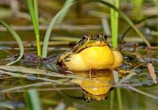 Grenouille verte sur un marais amphibies Les grenouilles peuvent produire un large ?ventail de signaux sonores, particuli?rement  image libre de droits