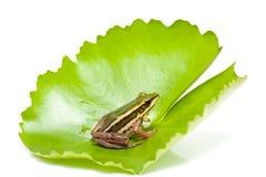 Grenouille verte sur une feuille de lotus Photo stock