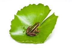 Grenouille verte sur une feuille de lotus Image libre de droits
