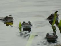 grenouilles Photographie stock libre de droits