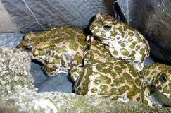 grenouilles Image libre de droits