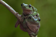 grenouilles Photographie stock