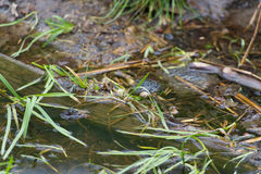 Grenouilles communes joignant dans l'eau Photographie stock libre de droits