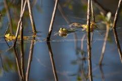 Grenouilles dans l'étang Photographie stock