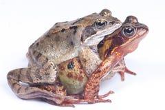 grenouilles dans l'amour Photos stock