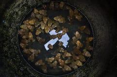 Grenouilles dans le pot Image libre de droits