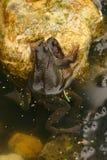 Grenouilles de accouplement dans l'eau Photo stock