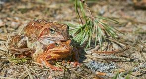 Grenouilles de accouplement dans la for?t en temps clair en avril les grenouilles se ferment  photo libre de droits