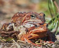 Grenouilles de accouplement dans la for?t en temps clair en avril les grenouilles se ferment  images libres de droits