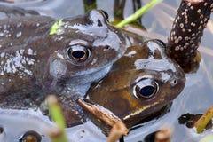 Grenouilles engendrant dans un étang Photo stock