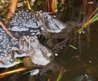 Grenouilles engendrant dans un étang Image stock