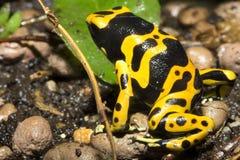 Grenouilles minuscules de dard, grenouille Yelow-réunie de Pison, leucomelas de Dendrobates Image stock