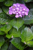 Grenouilles sur l'hortensia Bush Images stock