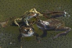 Grenouilles sur l'étang de jardin Photos stock