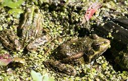 Grenouilles vertes sur l'étang Photo stock