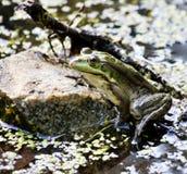 Grenouilles vertes sur l'étang Photographie stock libre de droits