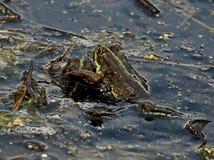 Grenouilles vertes sur un marais Mariage sur le marais amphibies Les grenouilles peuvent produire un large éventail de signaux so image libre de droits