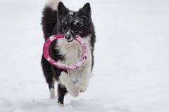 Grens Collie Dog Running op Sneeuw en het Spelen met Stuk speelgoed royalty-vrije stock afbeelding