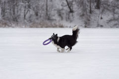 Grens Collie Dog Running op Sneeuw en het Spelen met Stuk speelgoed Stock Fotografie