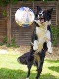 Grens Collie Jumping voor een bal stock foto's