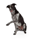 Grens Collie Paw Shake Stock Afbeelding